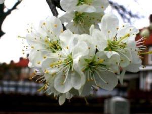 Prugno in fiore